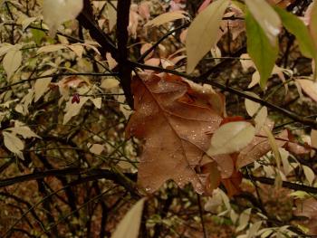 Дубовый листок