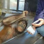 Орангутан реагирует на фокус