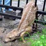 Спасение застрявшего оленёнка